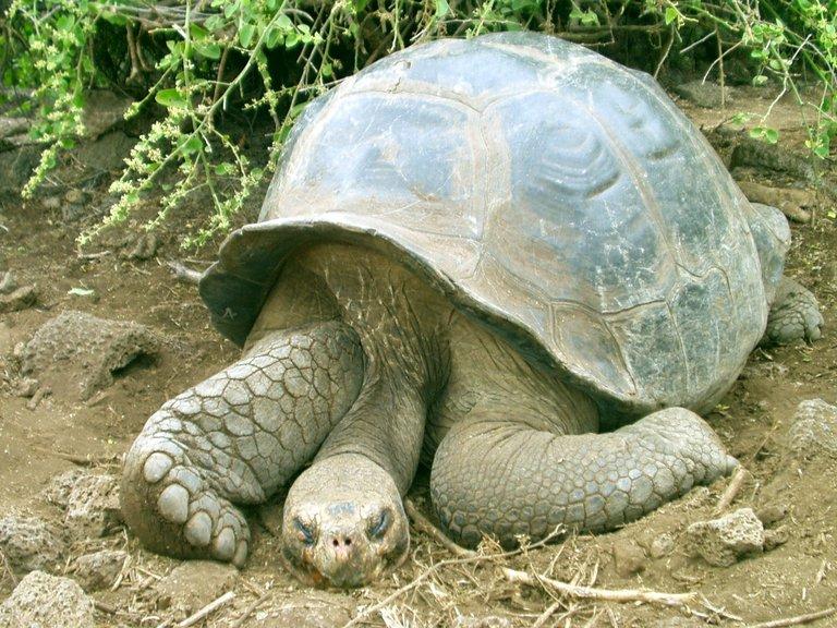 http://www.newt.com/wohler/events/2004/galapagos/santa-cruz/tortoise-2-big.jpg