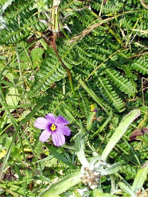 http://www.newt.com/wohler/events/2006/san-pedro/ca-blue-eyed-grass-fern-big.jpg
